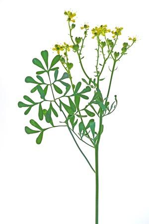 ruta: Common rue Ruta graveolens - flowering plant isolated against white background
