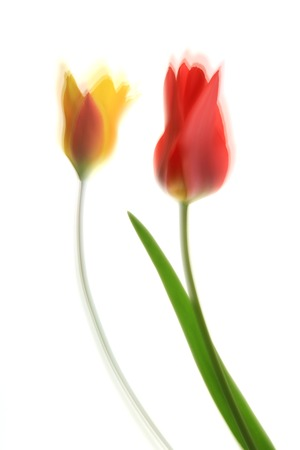 multiple exposure: Two tulips (Tulipa) isolated against white background - picturesque blurred by multiple exposure Stock Photo