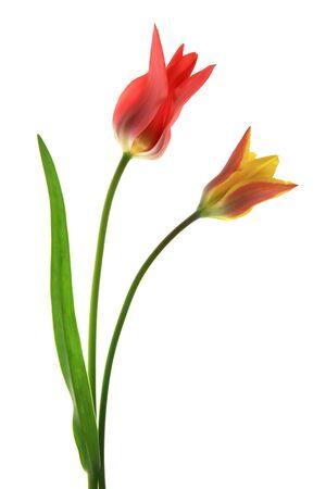tulips isolated on white background: Tulips (Tulipa) two flowers isolated before white background