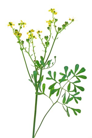 rue: Common rue (Ruta graveolens) - flowering plant isolated against white background Stock Photo