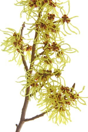 witchhazel: Blooming branch of witchhazel (Hamamelis) isolated in front of white background
