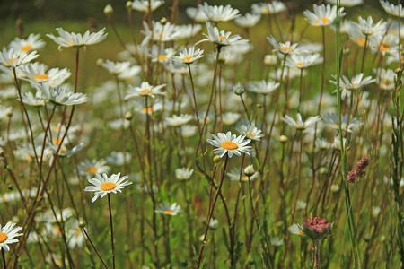 leucanthemum: Flowering ox-eye daisys (Leucanthemum) in a meadow