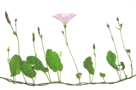 convolvulaceae: Bindweed (Convolvulus arvensis) - flowering plant isolated against white background