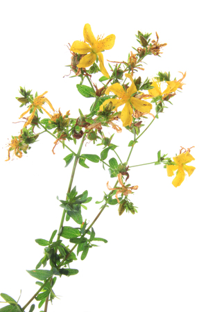st: Real St. Johns wort (Hypericum perforatum) - flowering plant isolated against white background Stock Photo
