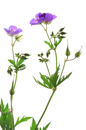 Meadow Cranesbill (Geranium pratense), flowering plant isolated against white background