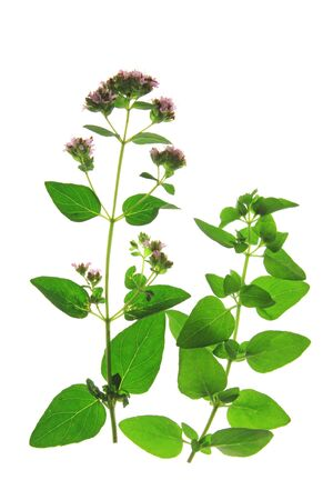 wild marjoram: Oregano or wild marjoram (Origanum vulgare) flowering plant isolated against white background