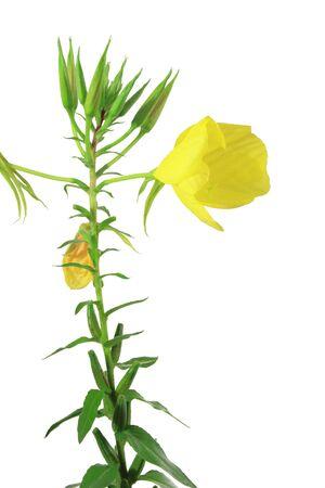 Gemeinsame Nachtkerze, Abendstern, Sonnenstrahl - (Oenothera Biennis ...