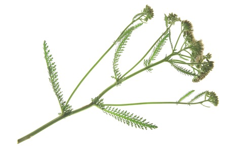 millefolium: Common Yarrow (Achillea millefolium) flowering plant isolated against white backgroun Stock Photo