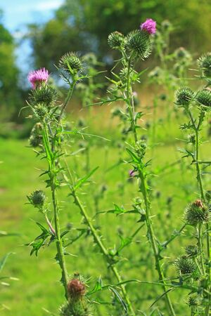 Spear thistle, bull thistle or common thistle (Cirsium vulgare) flowering plant in a meadow