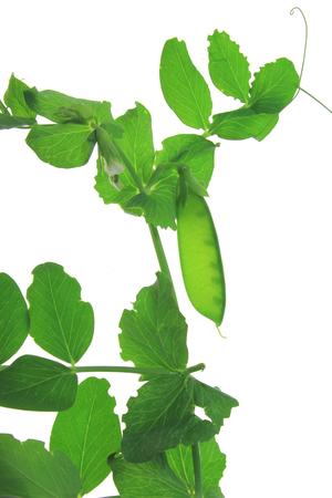 Snow pea, green pea, suger pea (Pisum sativum) plant with unripe pod isolated against white background