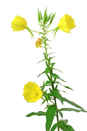 Common evening primrose, evening star, sun drop - (Oenothera biennis) flowering plant isolated against white background