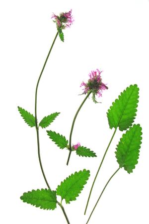 Echte Betonie oder  Heil-Ziest (Betonica officinalis, Stachys officinalis) blühende Pflanze freigestellt vor weißem Hintergrund