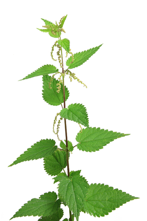 urtica dioica: Stinging nettle (Urtica dioica) flowering plant isolated against white background Stock Photo