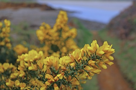 flowering common gorse (Ulex europaeus) in Brittany, France Stock Photo