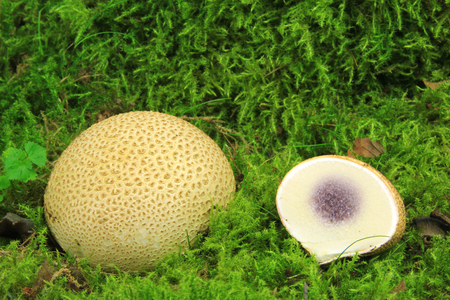 Common earthball (Scleroderma citrinum) also called earthball, pigskin poison puffball, common earth ball - mushroom on green moss
