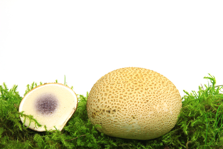 Common earthball (Scleroderma citrinum) also called earthball, pigskin poison puffball, common earth ball - mushroom on green moss before white background 版權商用圖片