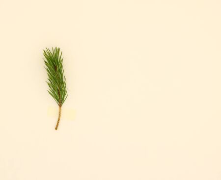 minimal: Coniferous branch attached on a white background. Flat lay minimal concept.