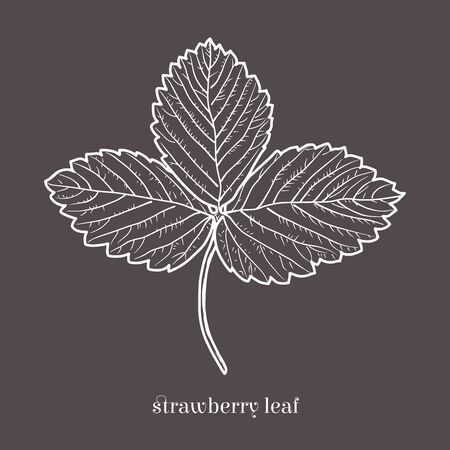 Strawberry leaf isolated sketchy style. Hand drawn doodle illustration.