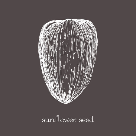 Sunflower seed isolated. sketch hand drawn illustration isolated. Doodle style.