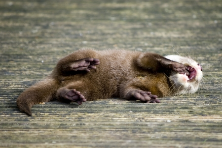 Baby Otter Stock Photo