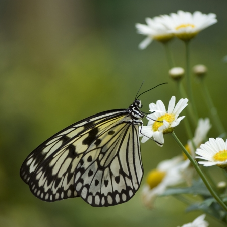 a macro photo of a nymph butterfly on a daisy flower Stock Photo