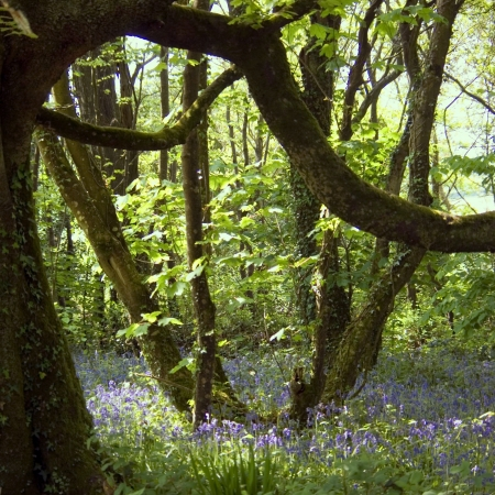 bluebell woods photo