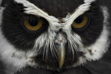 close up photo of a black and white owl photo