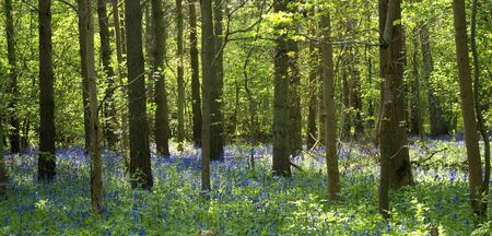 bluebell forest photo