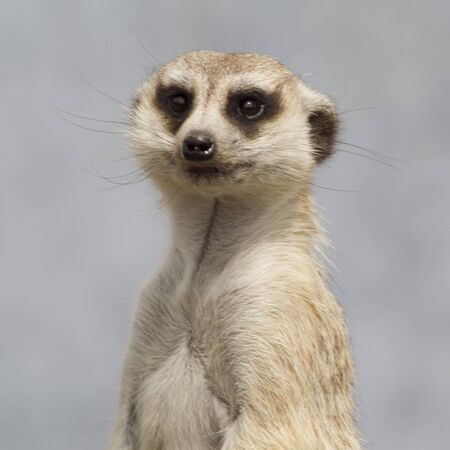 meer: a close up photo of a meercat.
