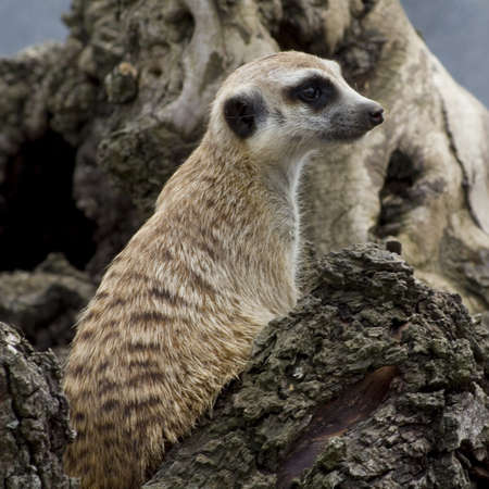 a cute meerkat sitting on a log photo