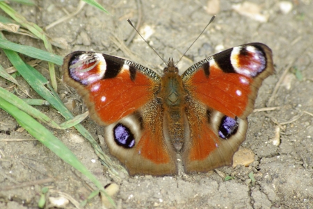 peacock butterfly: Mariposa pavo real