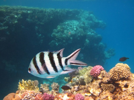 Sergeant Major Fish and Coral Reef photo