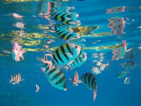sergeant: Sergeant Major Fish in the red sea Egypt