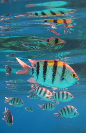 major ocean: Sergeant Major Fish in the Red Sea Egypt