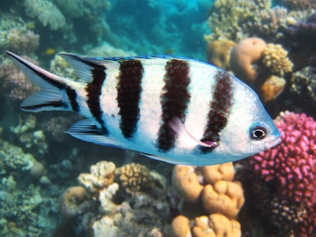 Sergeant Major Fish in Egypt Stock Photo - 16504822