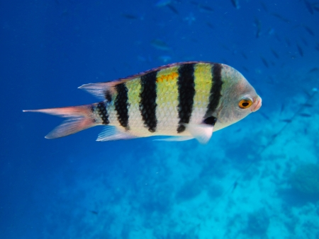 Sergeant Major Fish in Egypt Stock Photo - 16504708
