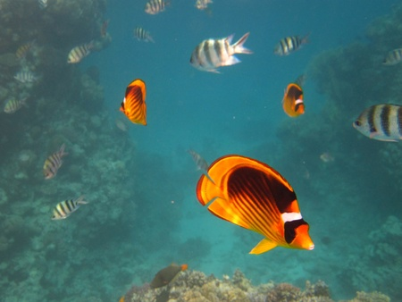 Yellow and Black Butterfly Fish and Sergeant Major Fish photo