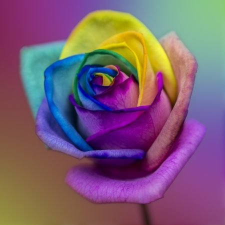 Macro photo of a rose with different rainbow coloured petals