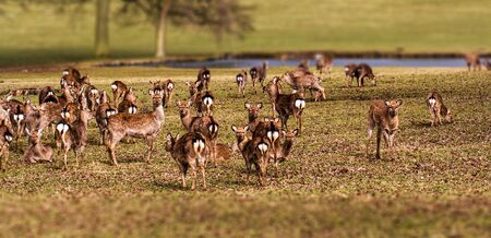 heard: heard of deer Stock Photo