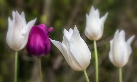 whote: Five Tulip Flowers in white and purple - nature photography