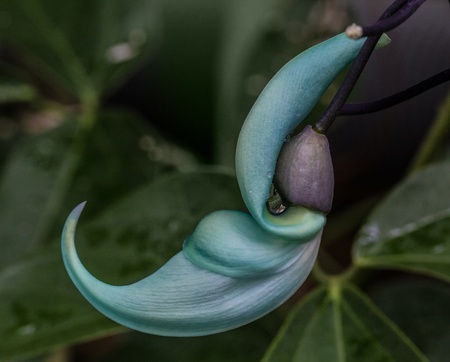 jade plant: Macro photo of the flower on a Jade Vine (emerald creeper) plant - nature photography