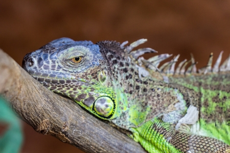 lizzard: colourful iguana lizzard