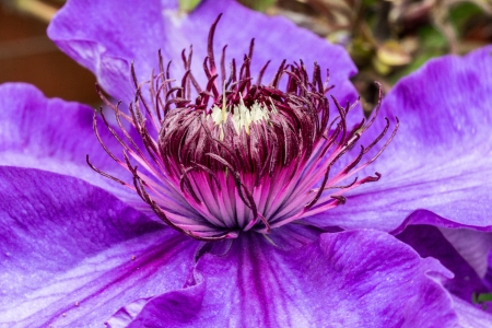 clematis flower: Close up macro of a purple Clematis flower  Stock Photo