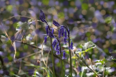 cambridgeshire: Close up Bluebell Flowers photography taken in Waresley Woods Cambridgeshire