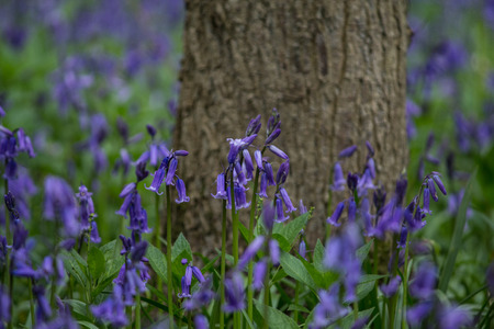 cambridgeshire: Close up photo of Bluebell flowers taken in Waresley Woods Cambridgeshire