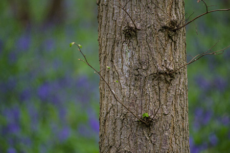 bluebell woods: Close up photo of a tree in a Bluebell woods taken in Waresley Woods Cambridgeshire Stock Photo