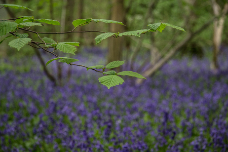 bluebell woods: Green Leaves in the Bluebell Woods