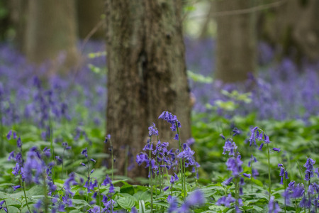 bluebell woods: Bluebell woods photography taken in Waresley Woods Cambridgeshire Stock Photo