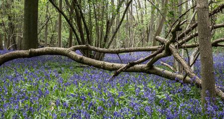 cambridgeshire: Bluebell woods landscape