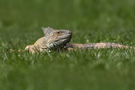 lizzard: Photo of an Iguana lizzard on the green grass - nature photography Stock Photo